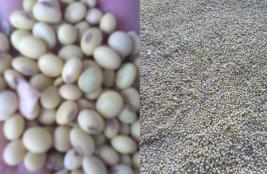 大寨村特产 黑脐黄豆